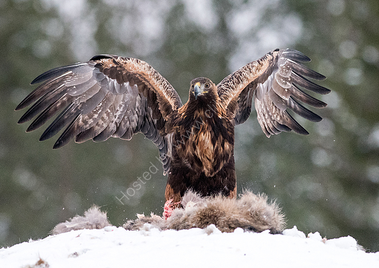 Young male eagle on prey