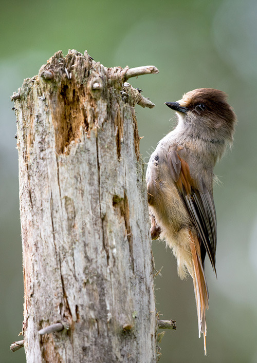 Young siberian jay