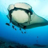 close up  6m giant manta