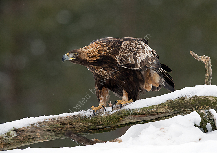golden eagle showing claws