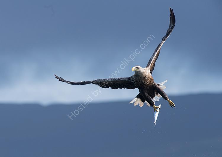 sea eagle on the turm