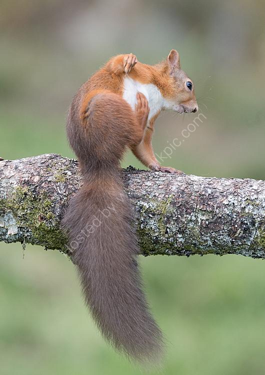 squirrel scratching