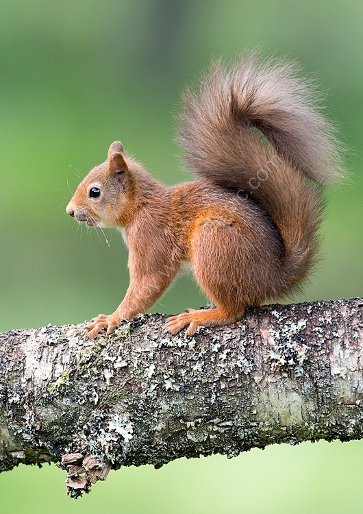 summer red squirrel