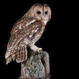 tawny owl. on post
