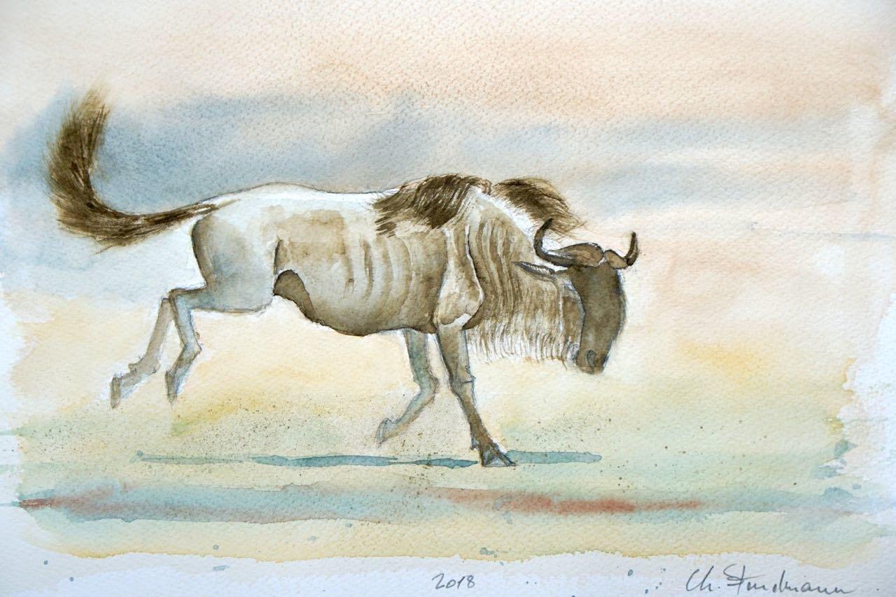 Gnou bleu - Blue wildebeest