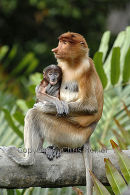 Proboscis Monkey Female & Baby