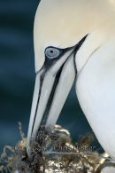 Gannet Arranges Nest