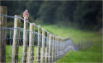 A Kestrel Falco tinnunculus sitting on a long line of fence posts looking for prey