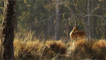 Chital or Cheeteel(Axis axis) also known as Chital Deer or Spotted deer