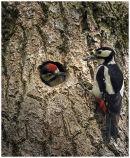 Great Spotteed Woodpecker