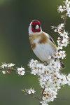 Goldfinch on Blackthorne
