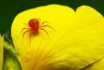 Red Spider mite.