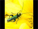 Fat Legged Flower Beetle