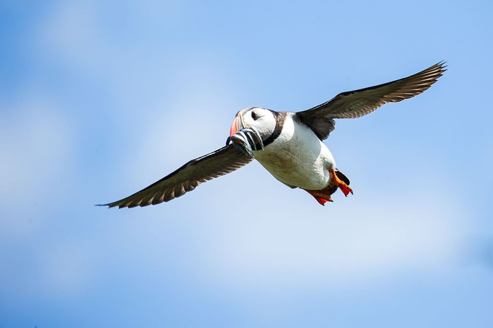 Puffin with dinner