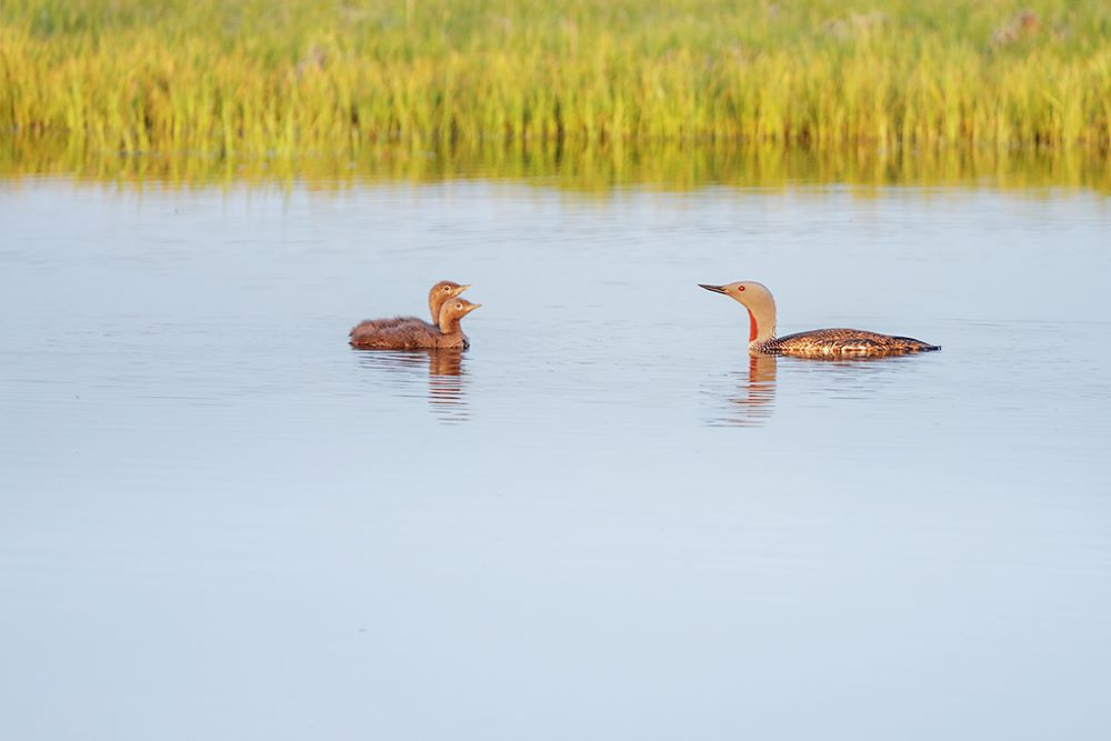 Red Throated Diver and Chicks