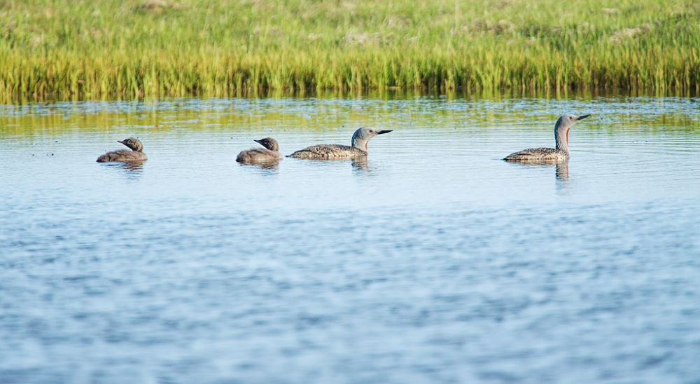 Red Throated Diver family