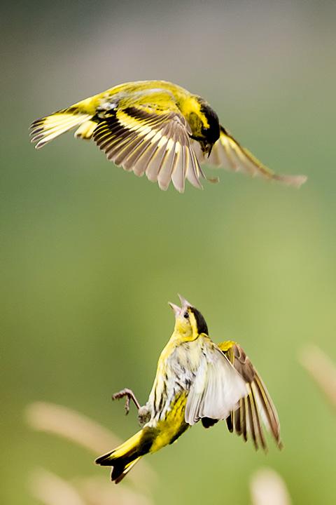 Siskin fight