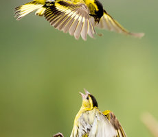 Siskin fight