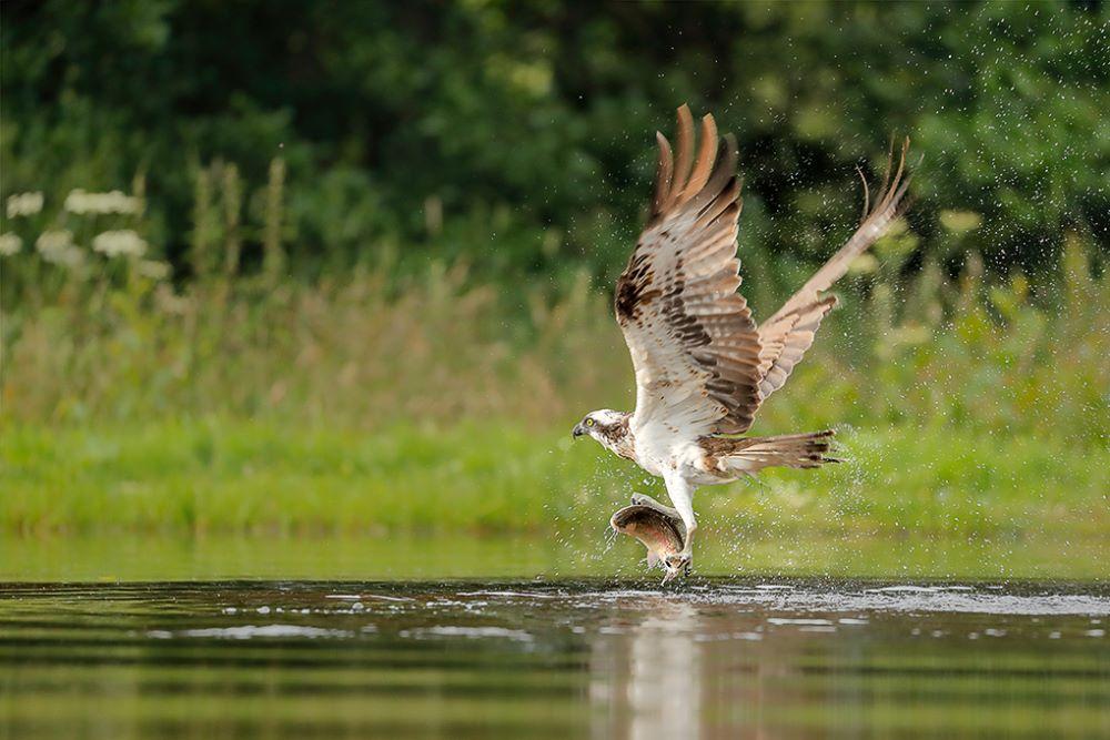Un-Named Osprey