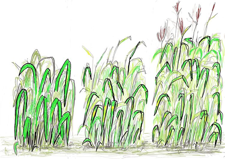 Miscanthus Annals of Botany illustration
