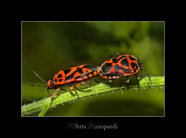 Soldier Bugs