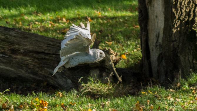 Snowey Owl