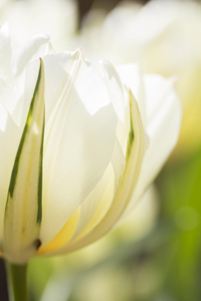 1004 - tulip two