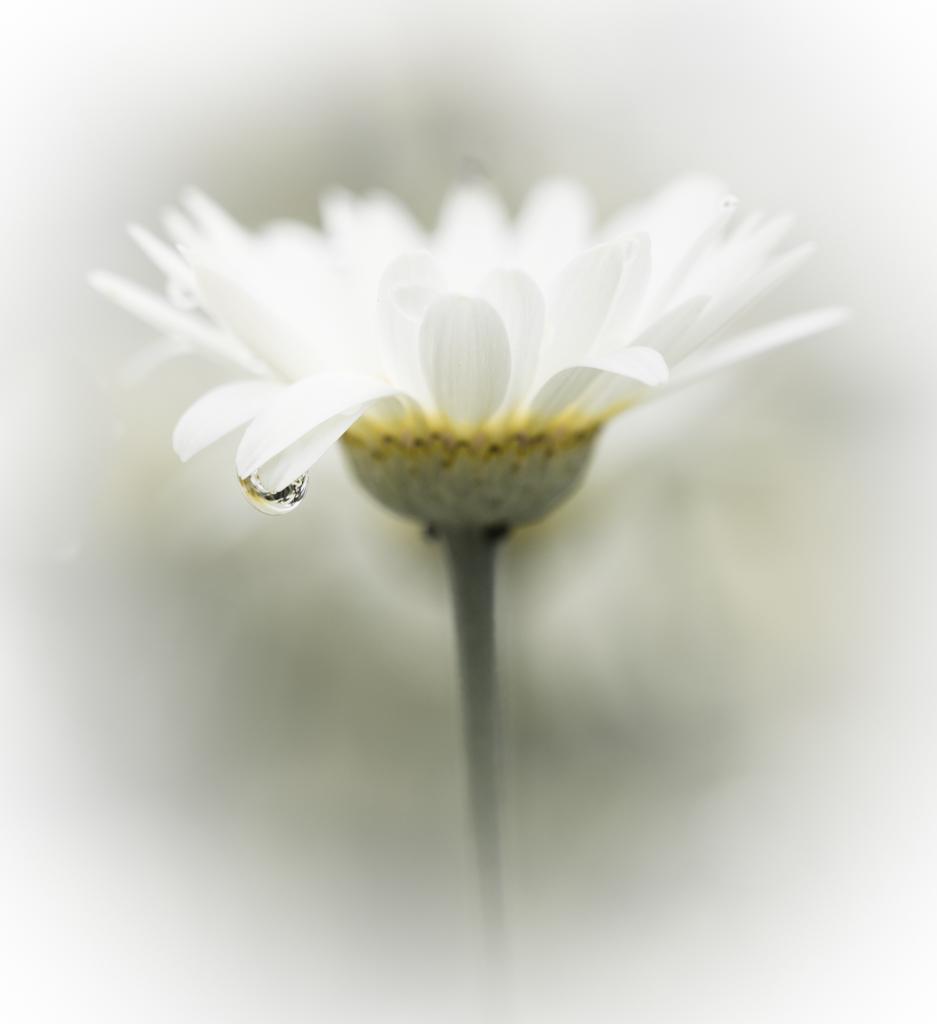 1008 - white flower four