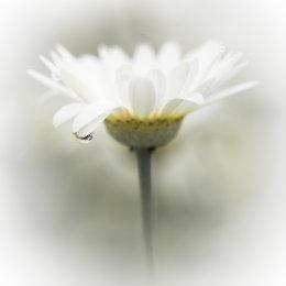 1008-white flower four
