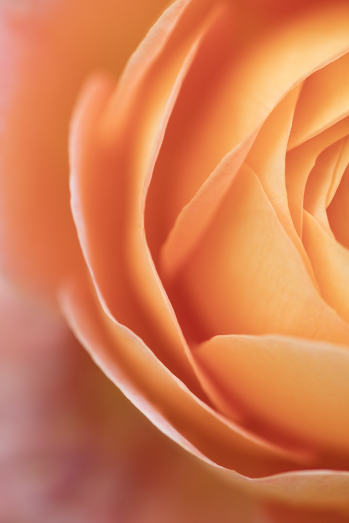 1009-rose one