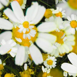 1020-daisies MX