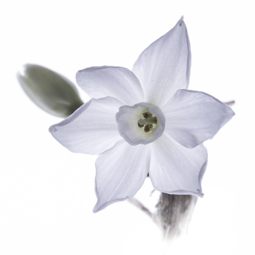 1022 - white flower eight