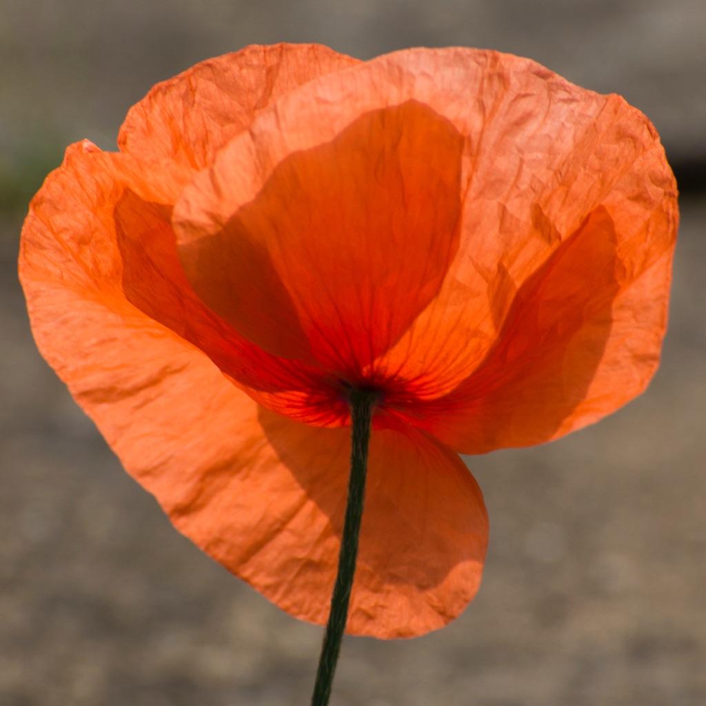 1025 - tissue poppy one