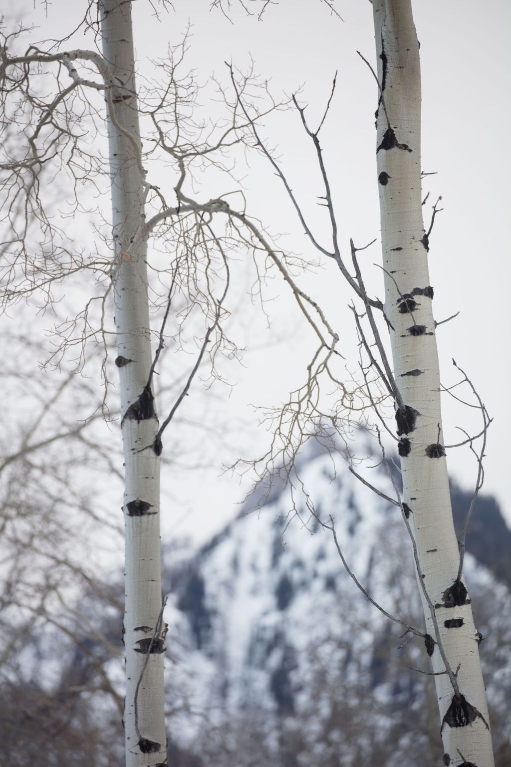 Canadian Rockies 008: birches and mountain