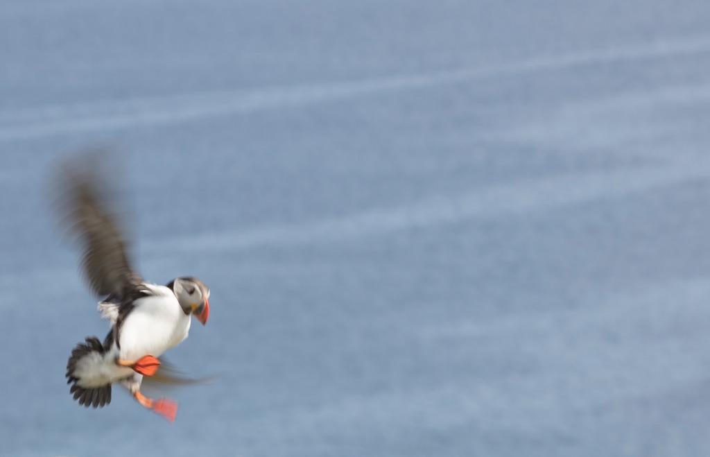 5004 - shetland puffin one