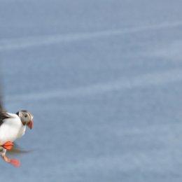 5004-shetland puffin one