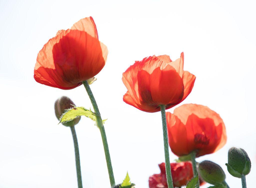 1022 - poppies