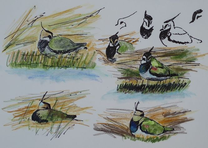 Sheltering Lapwing