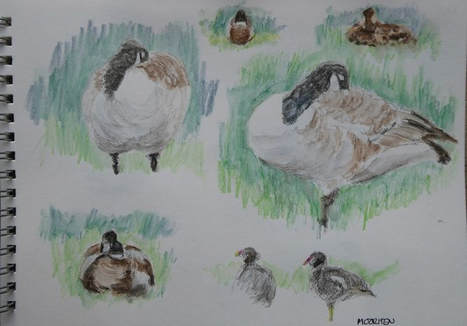 Canada Geese & Mallards
