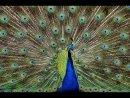 07 COM Peacock Detail by John Hopkinson