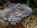 COM Green Iguana Captive by Neil Douglas