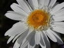 COM  Daisy by Brian Spray