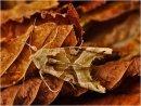 Com Angle Shades Moth by John Bacon