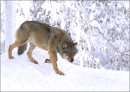 European Wolf on the prowl