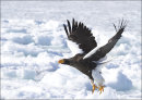 Stella Eagle taking off