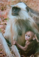 Langur Monkey with Baby by Sue Wilson DPAGB