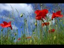 Top Poppy Field by Diane Spencer