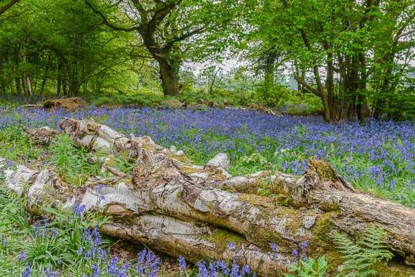 Bluebells in Crackley Woods, Kenilworth
