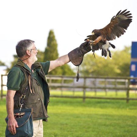 Bob with Harris Hawk