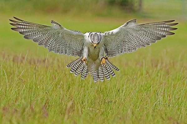 GyrFalcon (c) Falco rusticolus